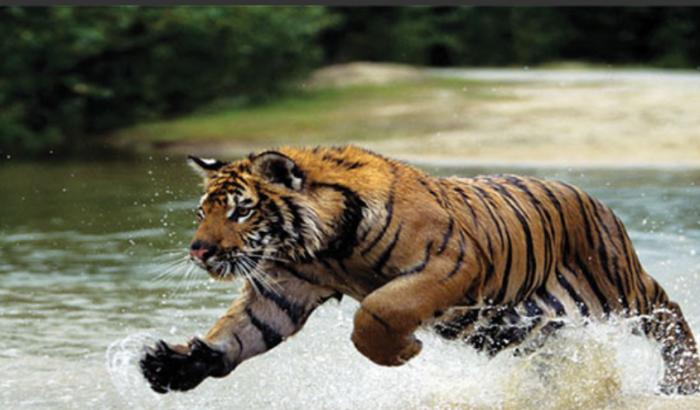 বাঘের আক্রমণে নিহত দুই বাংলাদেশীর লাশ ভাসছে ভারতের নদীতে